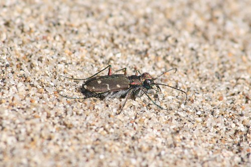 Beetles Found in Oregon Oregon_tiger_beetle